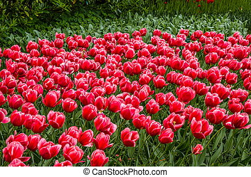 kleurrijke, rood, tulpen, keukenhof, park, lisse, in, holland