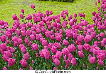 kleurrijke, roze, tulpen, keukenhof, park, lisse, in, holland