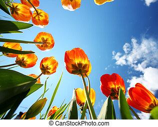 kleurrijke, tulpen, in de tuin