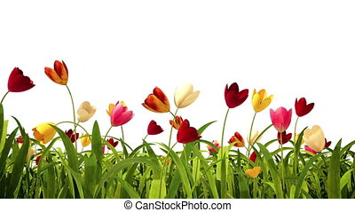kleurrijke, tulpen, met, alpha- kanaal