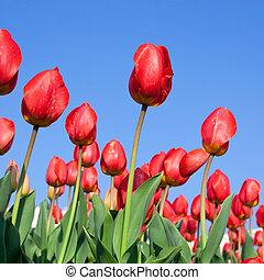 kleurrijke, van, tulpen, hechten, met, blauwe hemel