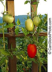 klimplant tomaten
