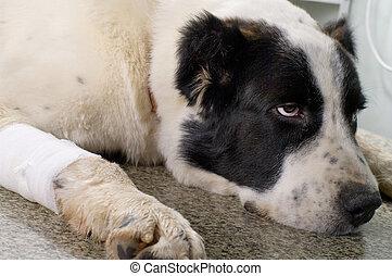 kliniek, veeartsenijkundig, dog, ziek