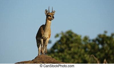 A small klipspringer antelope (Oreotragus oreotragus) on a rock, Kruger National Park, South Africa