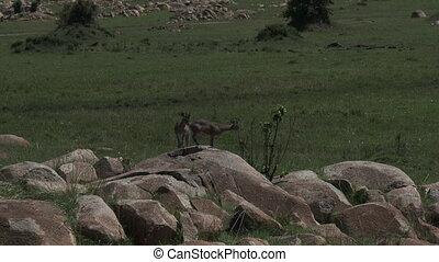 Klipspringer couple on rocks - Klipspringer (Oreotragus...