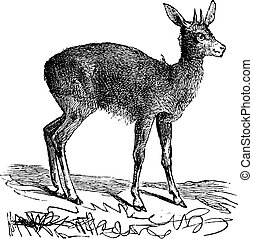 Klipspringer, Oreotragus Saltatrix or Oreotragus oreotragus vintage engraving.
