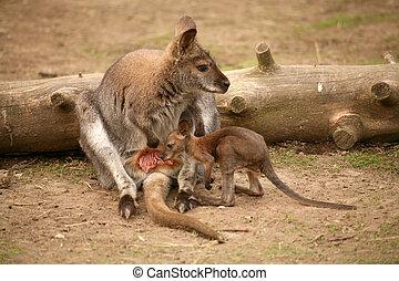 klokan, s, děťátko