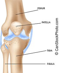 knä, förena, mänsklig, illustration