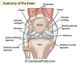 knä, vektor, anatomy., struktur, skarv