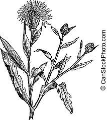 Knapweed or Centaurea, vintage engraving.