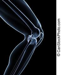Knee anatomy - 3d rendered illustration - knee anatomy