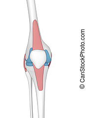 Knee anterior view anatomy cartoon view