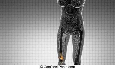 Knee Bones Anatomy - knee bones anatomy medical scan