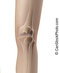 Knee joint anatomy