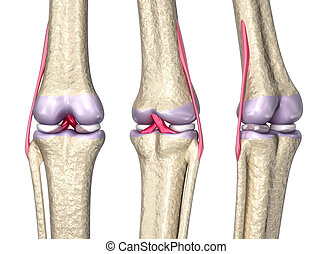 Knee joint anatomy, 3D model