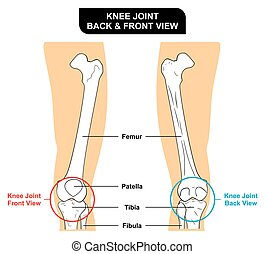 Knee Joint Anatomy Anterior and Posterior View