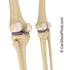 Knee joint anatomy. Medically accurate 3d illustration .