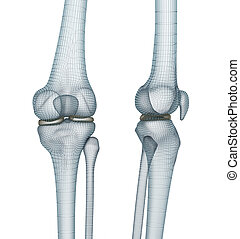 Knee joint anatomy. Medically accurate wire 3d illustration.