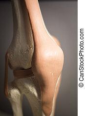 Knee joint meniscus tendon model