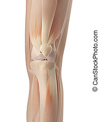 3d illustration of the knee joint muscles