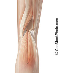 Knee joint - muscular anatomy - 3d illustration of the knee...