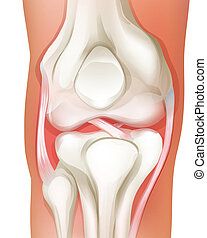 Knee joint of human - Illustration of the knee joint of...