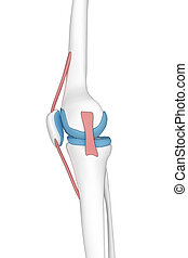 Knee lateral view anatomy cartoon view