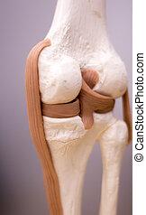 Knee meniscus medical model