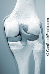Knee meniscus medical model