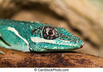 Knight Anole in the nature ( Anolis equestris )