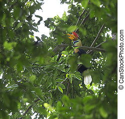 Knobbed Hornbill male, Aceros cassidis, in Tangkoko National Park, Sulawesi island