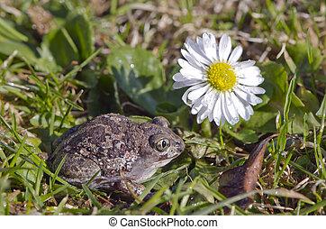 knoblauch, frosch, (pelobates, fuscus), kröte, auf,...