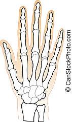 knochen, menschliche hand