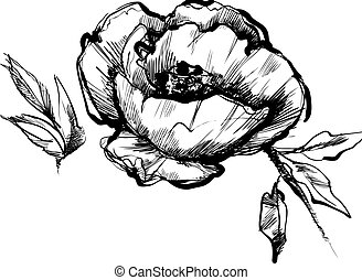 knop, peony, bloem, schets