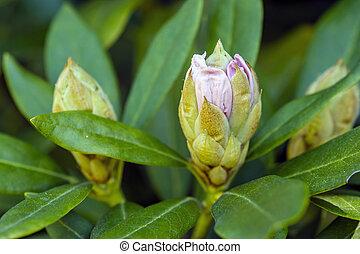 knospen, frühling, blume, rhododendron