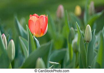 knospen, tulpenblüte