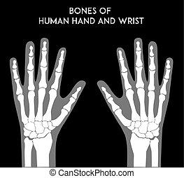 knotor, mänsklig, handleder, räcker