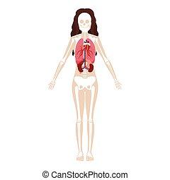 knotor, organs, kvinna, silhuett, inre