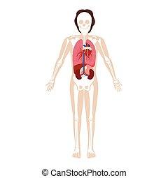 knotor, organs, manlig, silhuett, inre