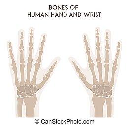 knotor, wrist., människa lämna