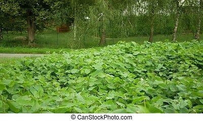 Knotweed Japanese, invasive expansive species of dangerous plants leaf, leaves Asia Reynoutria Fallopia japonica intruder neophyte calamity flowers gatecrasher, eliminates herbicides