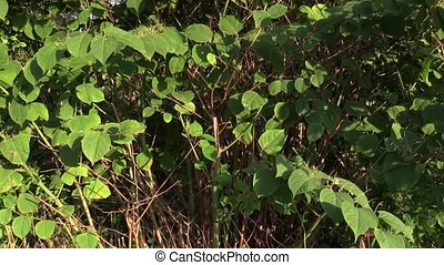 Knotweed Reynoutria and Fallopia japonica, bushes and...