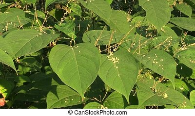 Knotweed Reynoutria and Fallopia japonica, invasive and...