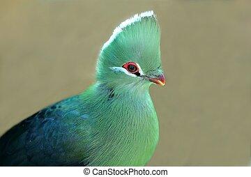 knysna, loerie, ou, turaco, pássaro