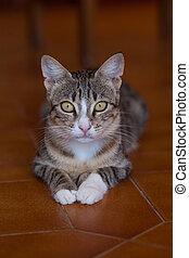 kočka, ležící, pomeranč, floor., šikovný