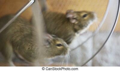 koło, wyścigi, mice, dwa