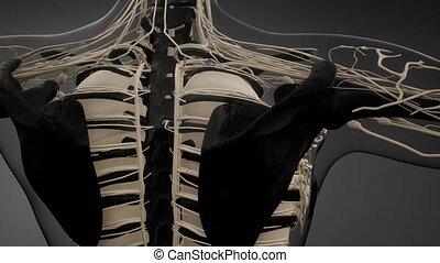 kość, ciało, ludzki, widoczny, przeźroczysty