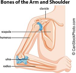 kość, od, przedimek określony przed rzeczownikami, ręka, i, łopatka