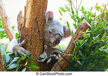koala a bear sits on a branch of a tree