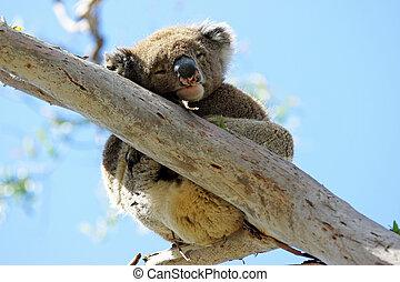 Koala, Australia - Sleeping Koala in a Blue Gum Tree, Great...